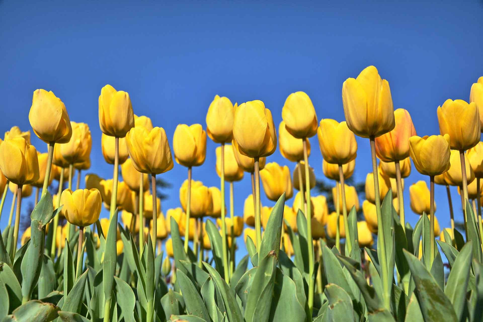 Tulpen fotograferen handige tips