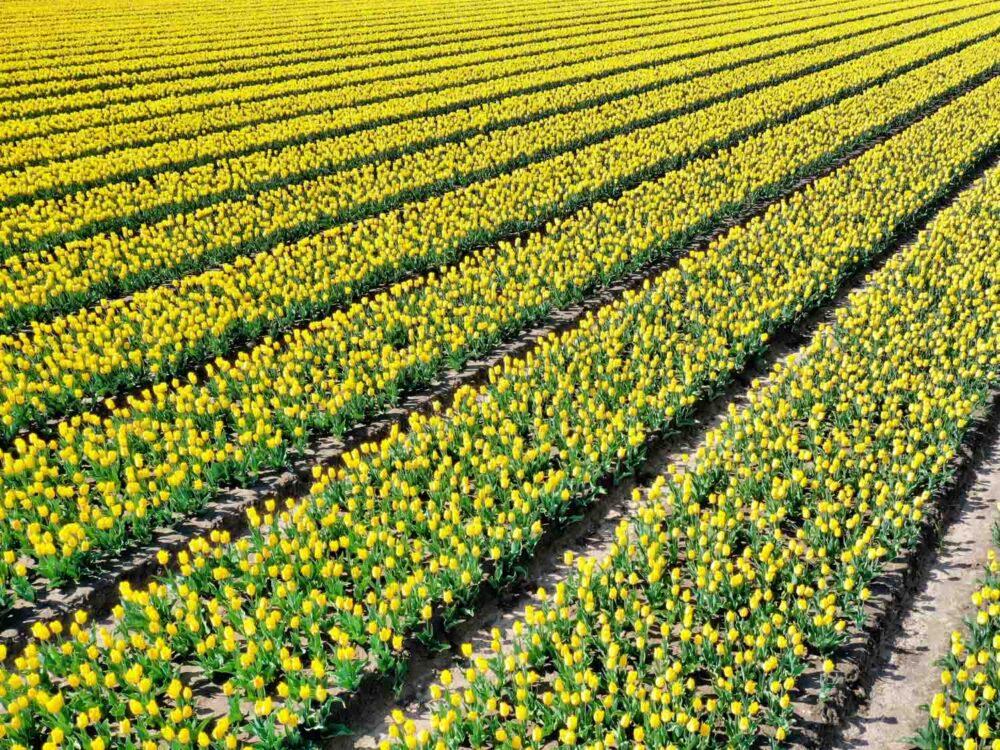 Tulpenvelden fotograferen handige tips
