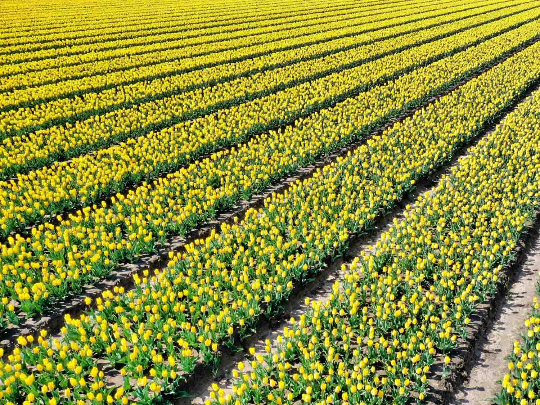 Tulpenvelden fotografie handige tips